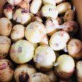 佐賀県産の新玉ねぎ・静岡県産の新アーリーレッド|今週土曜日の業務用野菜 特売情報