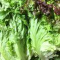 【特売情報】茨城県産のサニーレタスとグリーンカール|今週土曜日のお得な業務用野菜