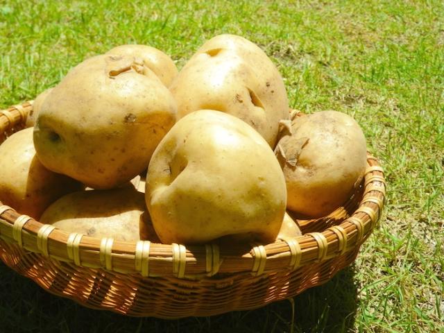 鮮度抜群のジャガイモ