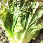 【特売情報】長野県産のサニーレタス|今週土曜日のお得な業務用野菜