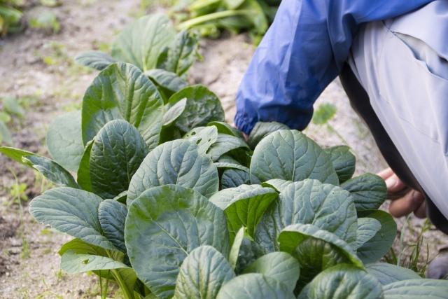 収穫される小松菜
